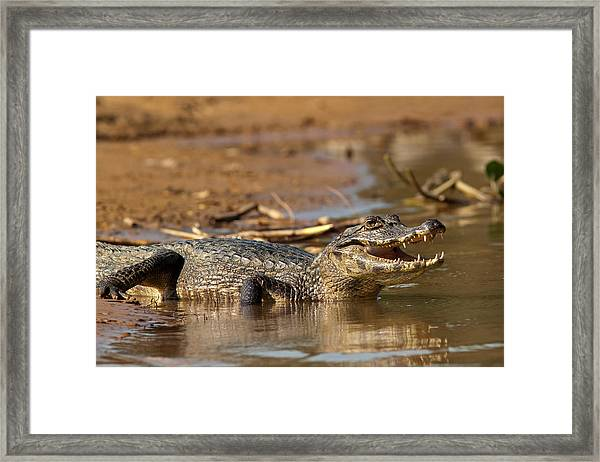 Caiman With Open Mouth Framed Print
