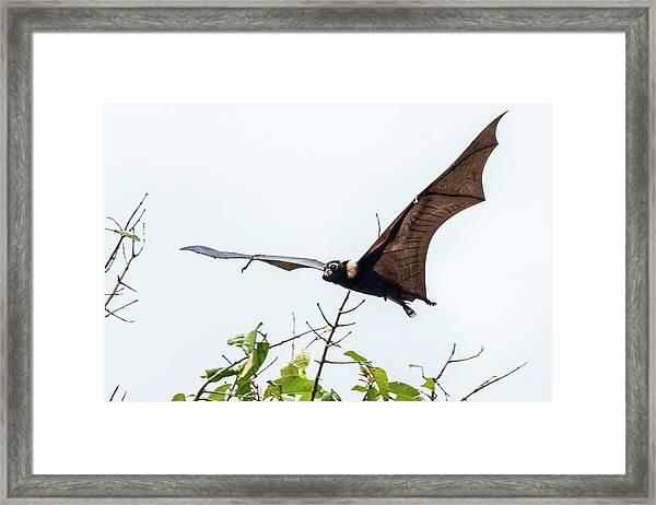 Cairns Fruit Bat Framed Print