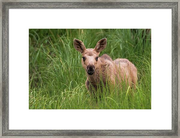 Calf Moose In The Grass Framed Print