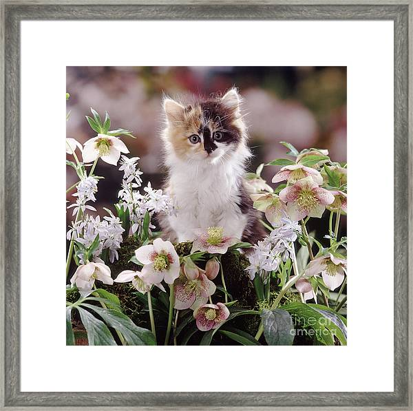 Calico And Scillas Framed Print