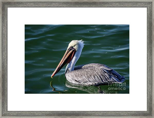 California Brown Pelican In Late Summer Framed Print