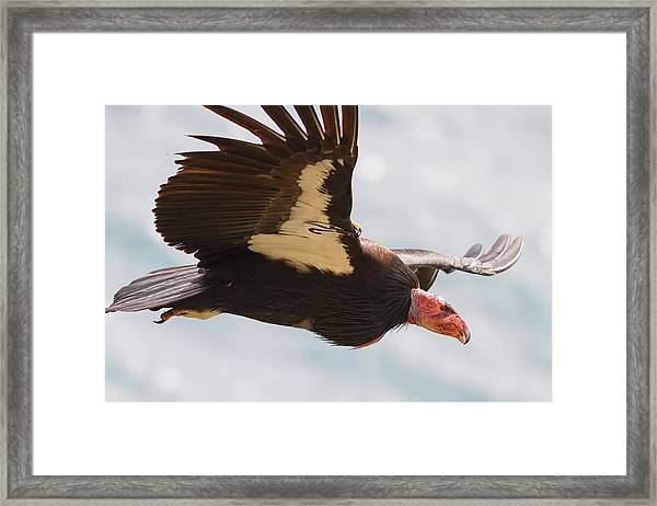 California Condor At Big Sur Framed Print