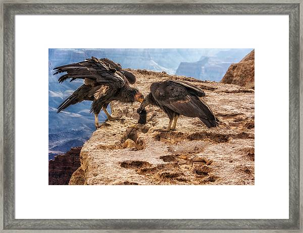 Framed Print featuring the photograph California Condors Inspecting A Sock by Claudia Abbott