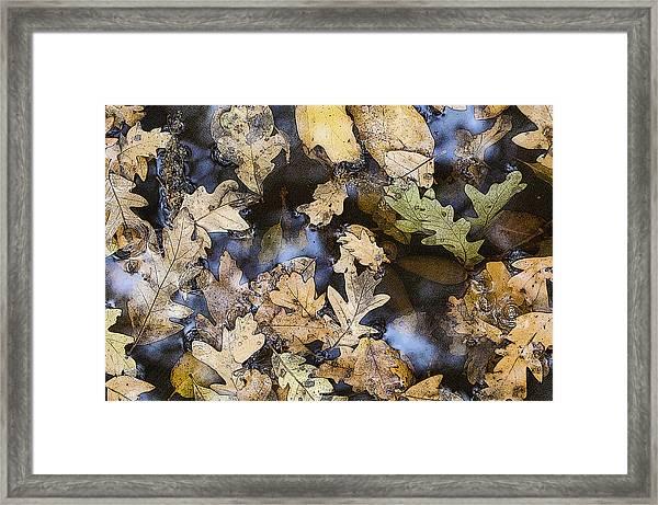 California Oak Leaves  Framed Print