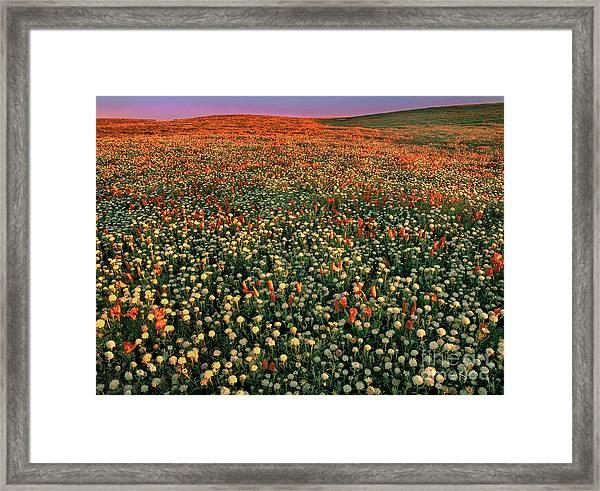 California Poppies At Dawn Lancaster California Framed Print
