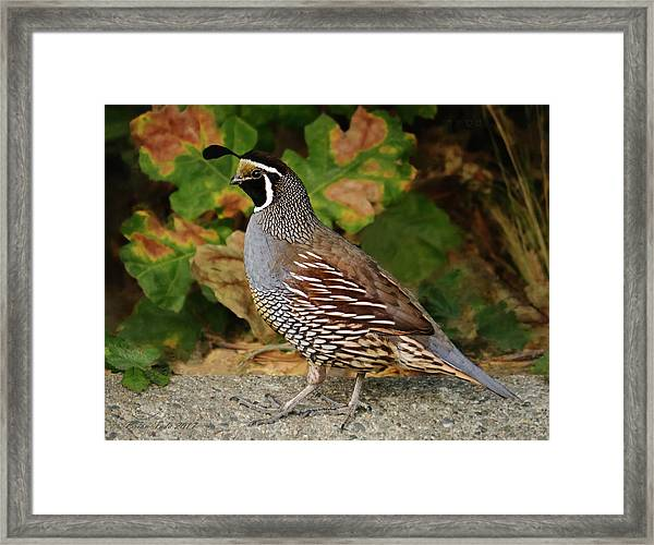 California Quail Rooster Framed Print