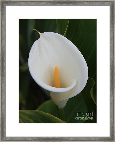 Perfect White Calla  Framed Print