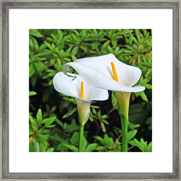 Calla Lillies Framed Print by Linda Sramek