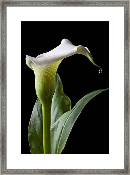 Calla Lily With Drip Framed Print