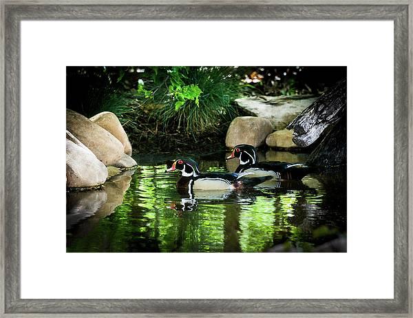 Calm Waters - Wood Ducks Framed Print