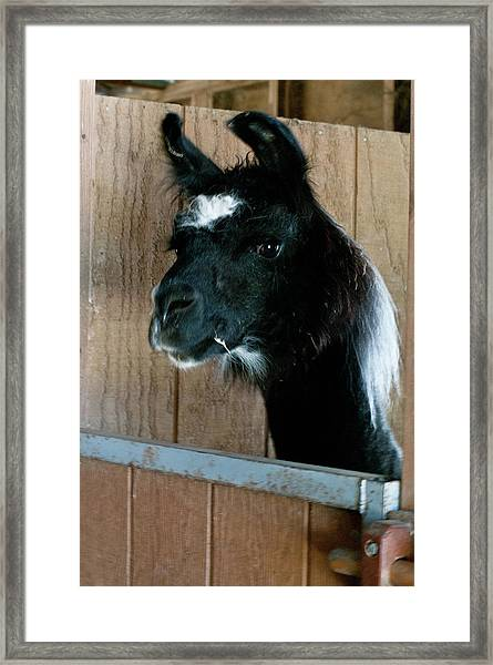 Framed Print featuring the photograph Camelid 3 by Catherine Sobredo