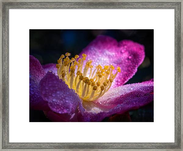 Camellia In Light And Shadow Framed Print