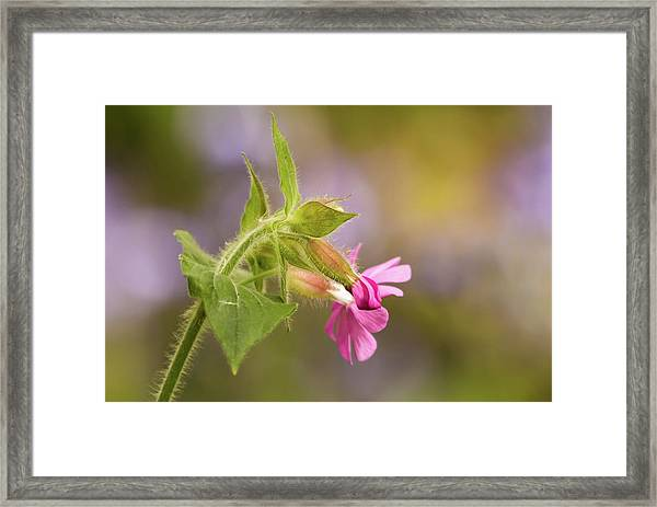 Campion And Blue Framed Print