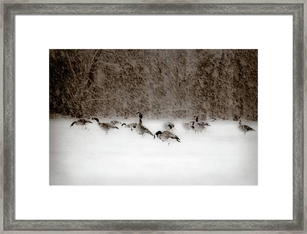 Canada Geese Feeding In Winter Framed Print