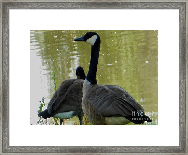 Canada Goose Edge Of Pond Framed Print