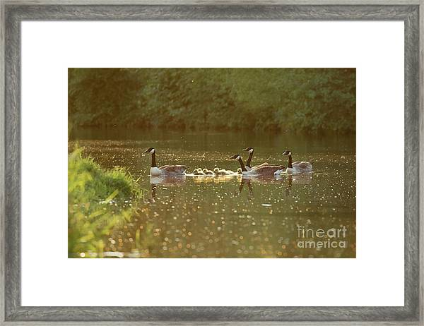Canada Goose Geese Family - Branta Canadensis - With Goslings On A Framed Print