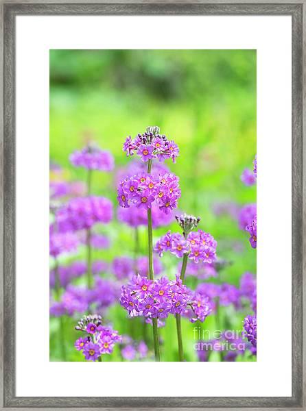 Candelabra Primula Framed Print by Tim Gainey