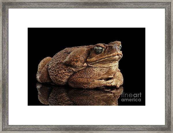 Cane Toad - Bufo Marinus, Giant Neotropical Or Marine Toad Isolated On Black Background Framed Print