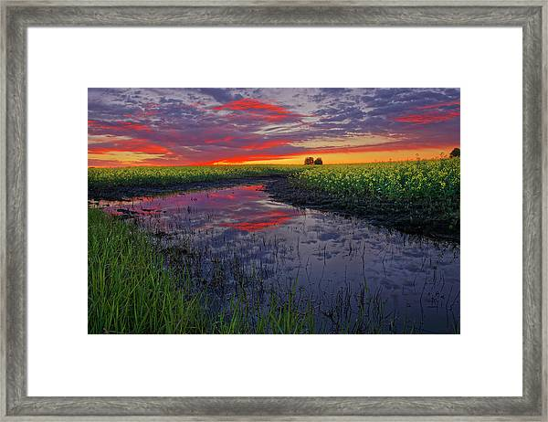 Canola At Dawn Framed Print