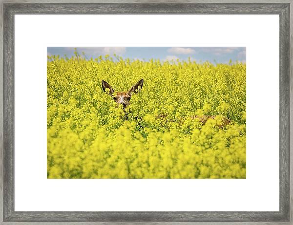 Canola Deer Framed Print