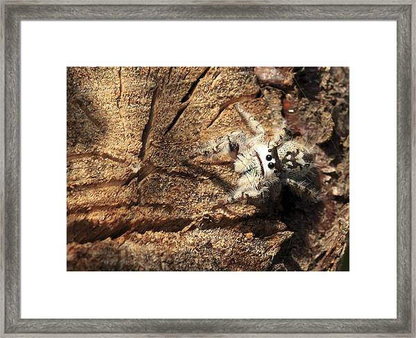 Canopy Jumping Spider Framed Print