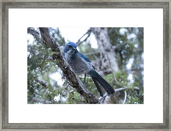 Canyon Jay Framed Print