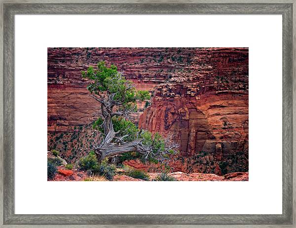 Canyonlands Juniper Framed Print