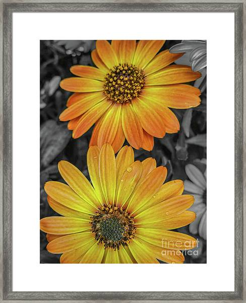 Cape Daisy's - Orange Framed Print