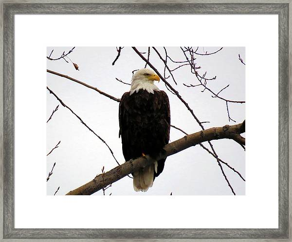 Cape Eagle Framed Print