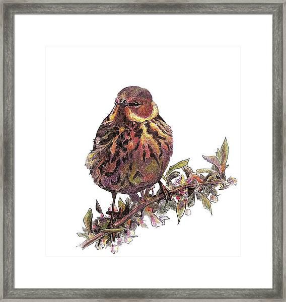 Cape May Warbler Framed Print