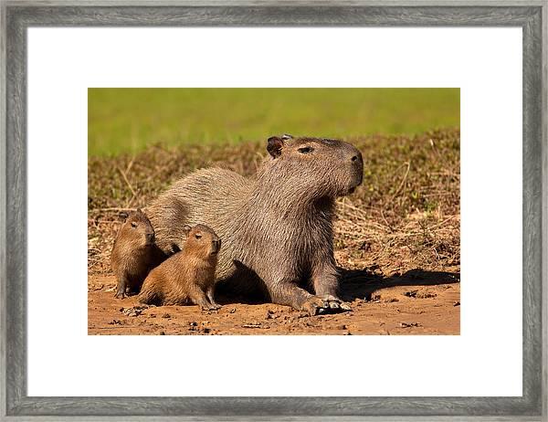 Capybara Family Enjoying Sunset Framed Print