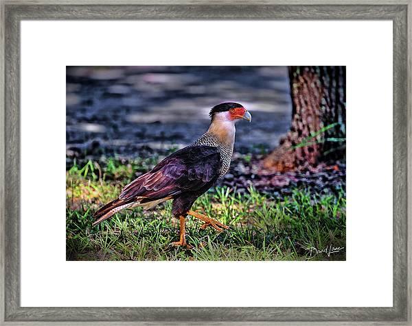 Framed Print featuring the photograph Cara Cara Strut by David A Lane