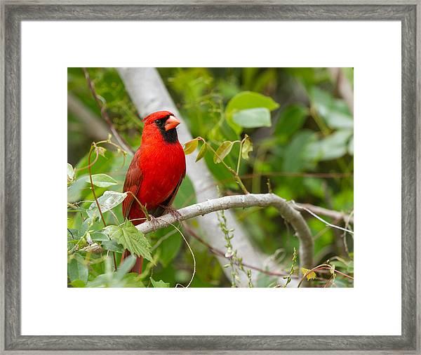 Cardinal 147 Framed Print