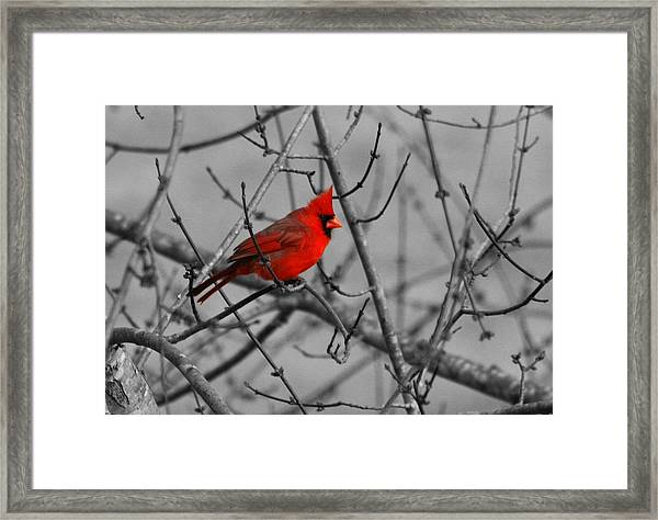 Cardinal Colorized Framed Print