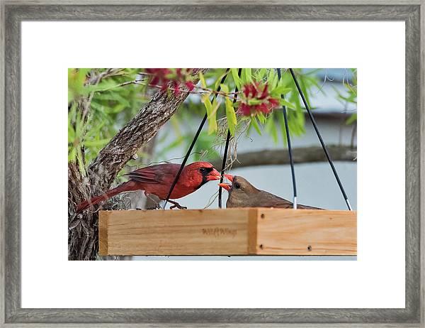 Cardinal Feeding  Framed Print