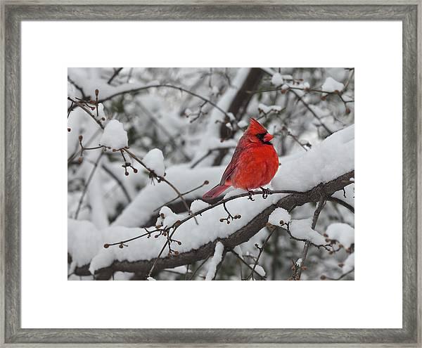 Cardinal In The Snow 1 Framed Print