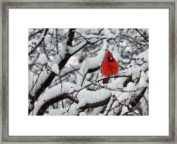 Cardinal In The Snow 2 Framed Print