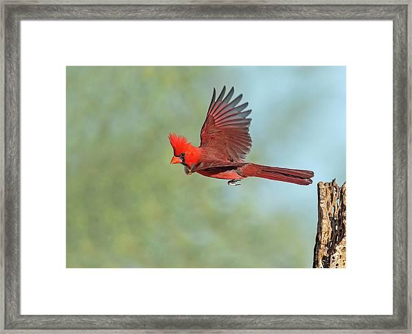 Cardinal On A Mission Framed Print