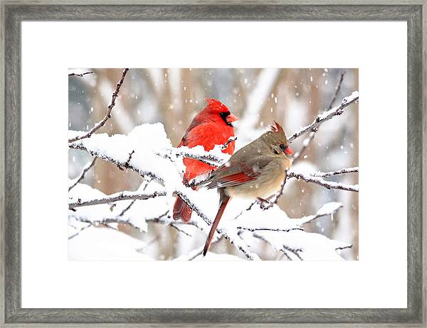 Cardinals In The Winter Framed Print