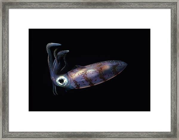 Caribbean Reef Squid At Night Framed Print