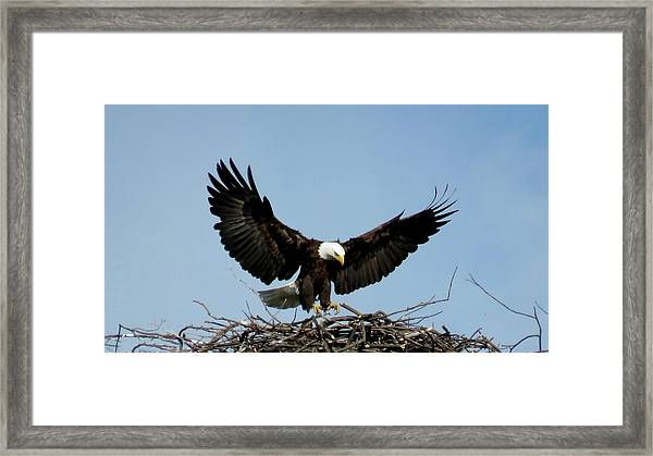 Cape Vincent Eagle Framed Print