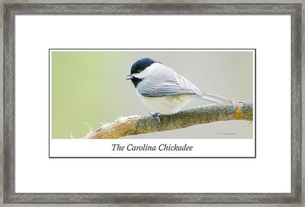 Carolina Chickadee, Animal Portrait Framed Print
