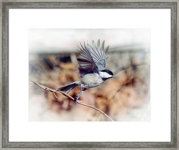 Carolina Chickadee - Come Fly With Me  Framed Print