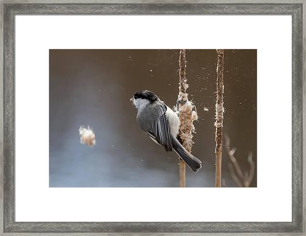 Carolina Chickadee Feeding On Cattail Framed Print