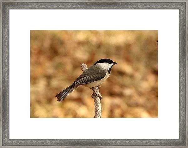 Carolina Chickadee On Branch Framed Print