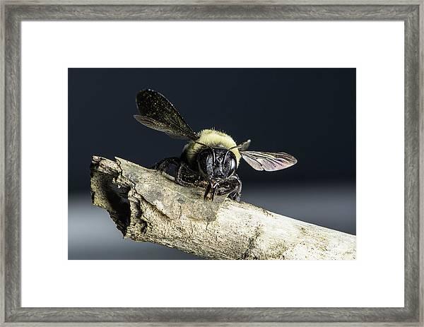 Carpenter Bee Framed Print