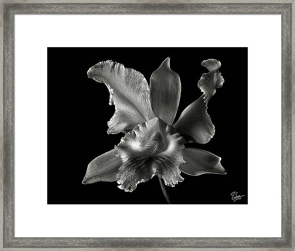 Catalea Orchid In Black And White Framed Print