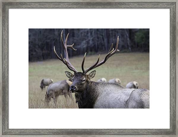 Cataloochee Elk Framed Print