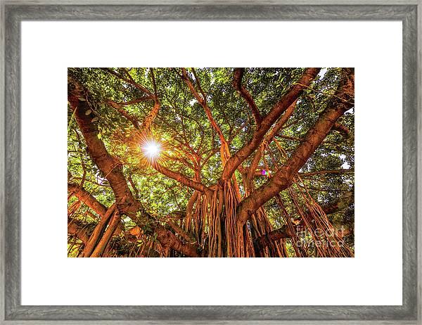 Catch A Sunbeam Under The Banyan Tree Framed Print