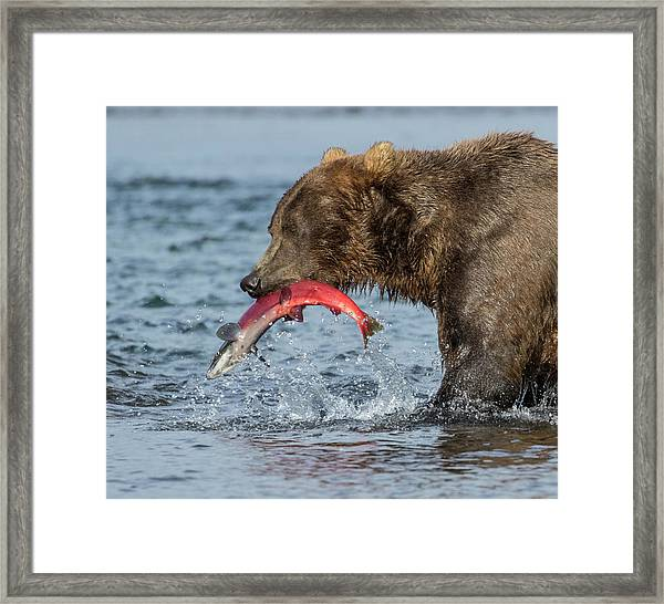 Catching The Prize Framed Print